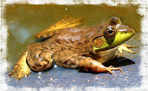 Why are frogs so noisy?